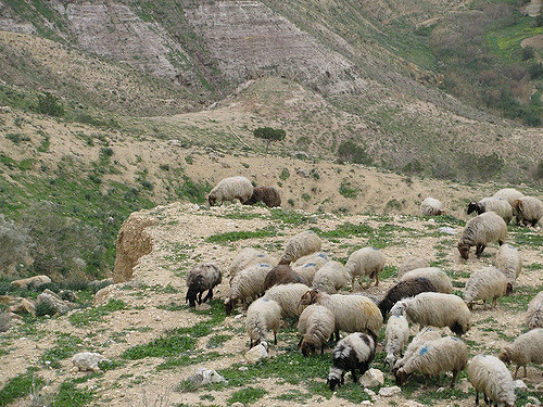 Improving the health of livestock of smallholder farmers in the border areas of Jordan