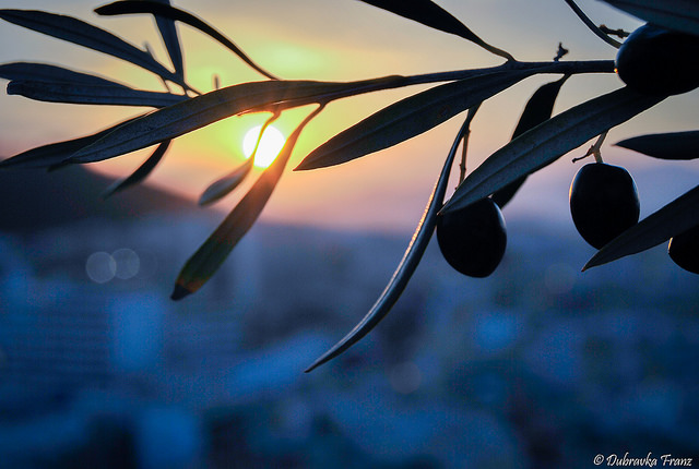 FAO Introduces Preventive Measures for Olive Quick Decline Syndrome in Egypt