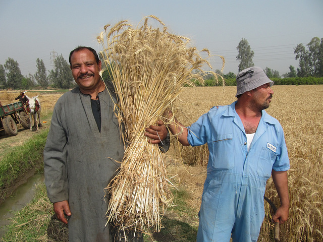 Building resilience of smallholder farmers in Egypt