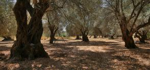 Project in Greece Converts Olive Cultivation Into a Climate Management Too