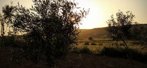 The White Olives of Malta
