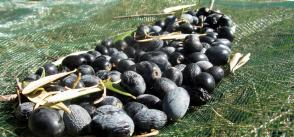 Sources of innovation in family olive farms: the case of Bejaia province in Algeria