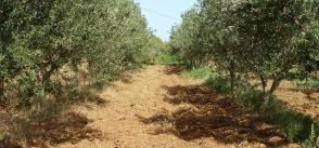 The rise of olive oil from Tunisia